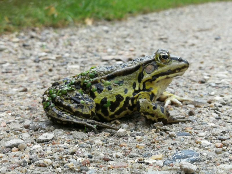 Aus der Sehnsucht erwacht und vom Frosch wachgeküsst